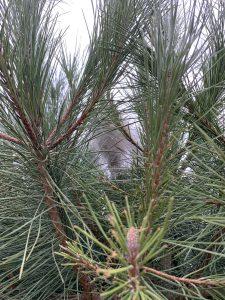 Nid de chenilles processionnaires du pin – échenillage à Granville